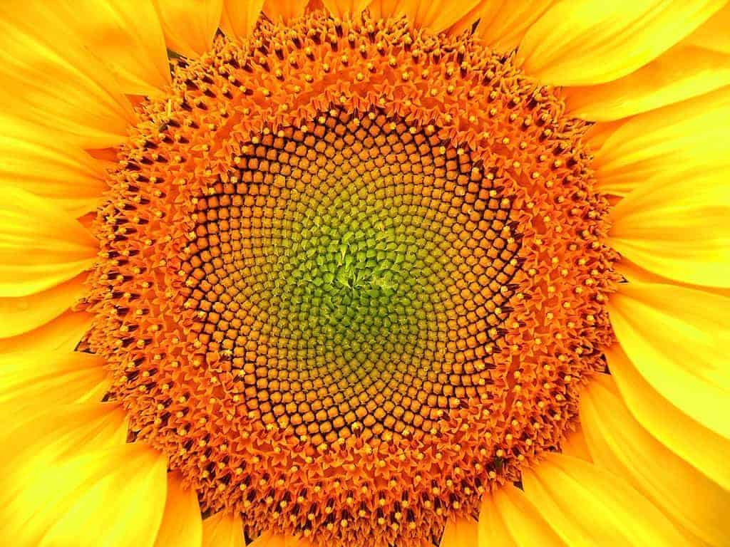 Mathematics Sunflower Lit by Immensity